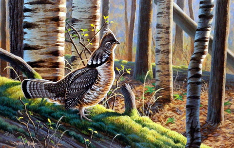 Cynthie Fisher Ruffed Grouse Picture  A Distant Drummer