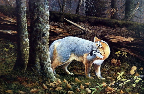 Ray Whitson Northshore Gray Fox