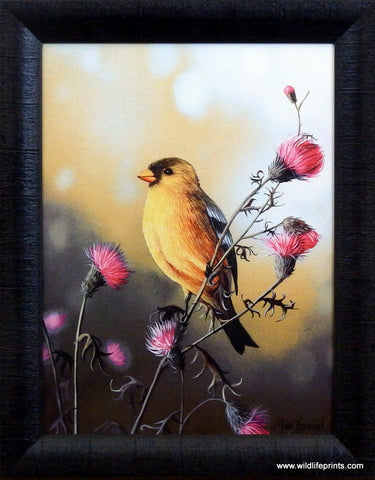 Jim Hansel American Goldfinch Studio Canvas- Framed