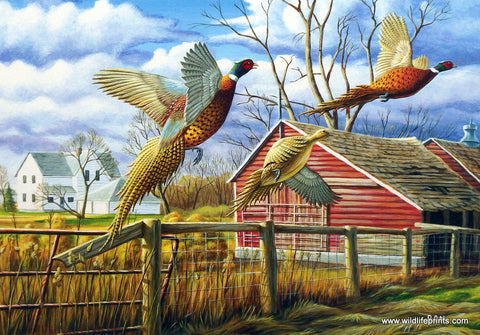 Ron Nelson Dakota Farmyard Pheasants