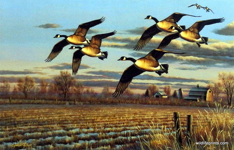 Cynthie Fisher Canadian Geese Picture Dropping In