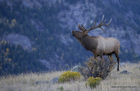 Judy Syring Elk Bulging for a Mate
