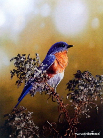 Jim Hansel Eastern Bluebird