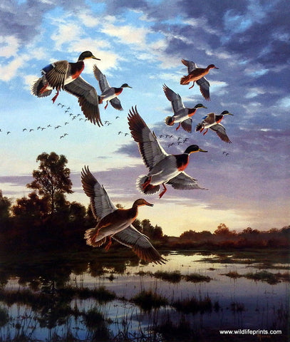 David Maass Evening Flight- Mallards