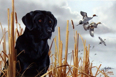 Scot Storm Field Companion- Black Lab