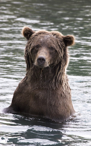 Jeff Syring Grizzly Bath