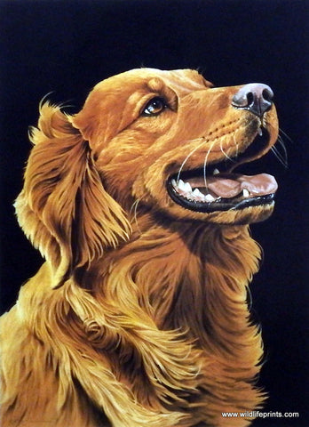 Jerry Gadamus Golden Retriever