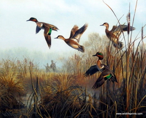 Don Kloetzke Green Winged Teal Art Print