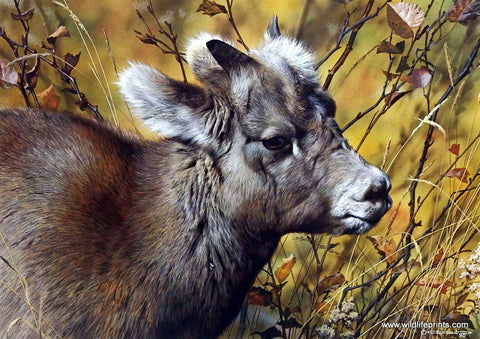 Carl Brenders Art Print Baby Bighorn Sheep