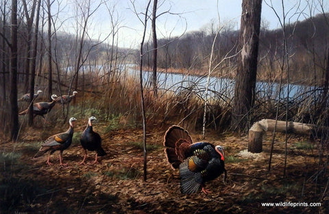 David Maass River's Edge Courtship- Wild Turkeys