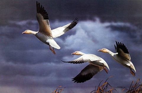 Daniel Smith Southbound-Snow Geese