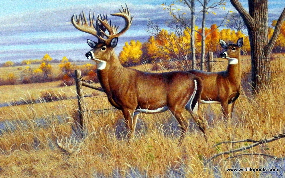 Artist Cynthie Fisher Unframed Whitetail Deer Print The