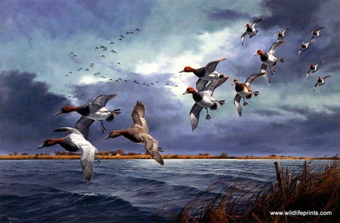 David Maass Turbulence Over Delta Marsh- Canvasbacks & Redheads