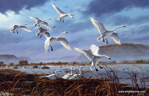 David Maass Weaver Bottoms-Tundra Swans