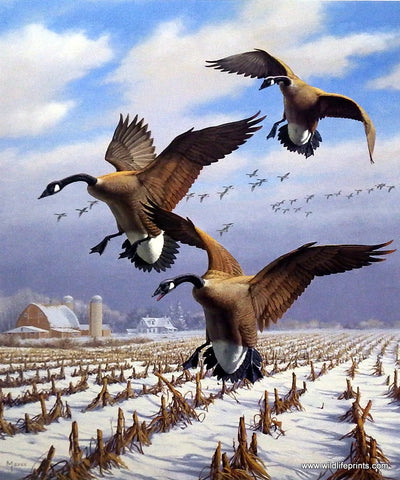 David Maass Winter Wonder-Canada Geese