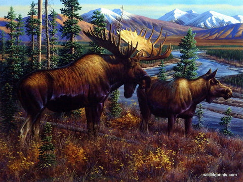 Cynthie Fisher Bull Moose Picture Alaskan Royalty