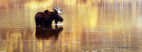 Claude Steelman Moose in Lake Picture