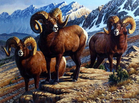 Cynthie Fisher Mountain Sheep Picture MOUNTAIN MONARCHS