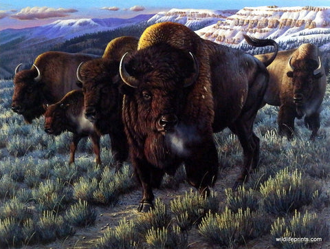 Cynthie Fisher Bison Buffalo Picture PRAIRIE THUNDER