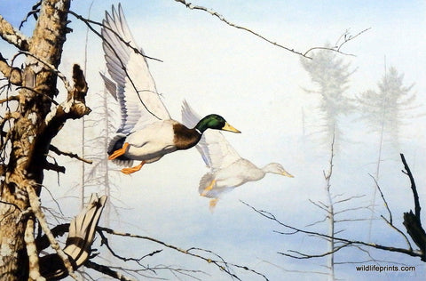 Brian Jarvi mallard duck painting SETTLIN' IN