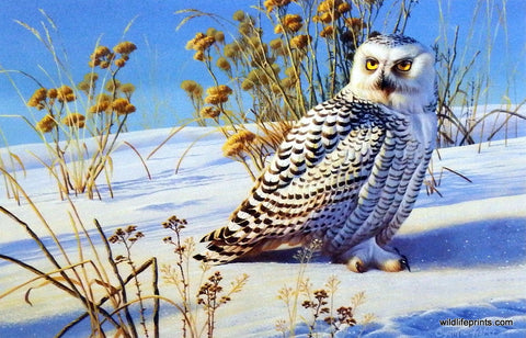 Cynthie Fisher Birds of Prey Picture SNOWY OWL
