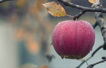 Load image into Gallery viewer, Apple Harvest