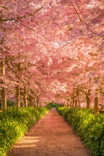 Load image into Gallery viewer, Cherry Blossom Golden Light