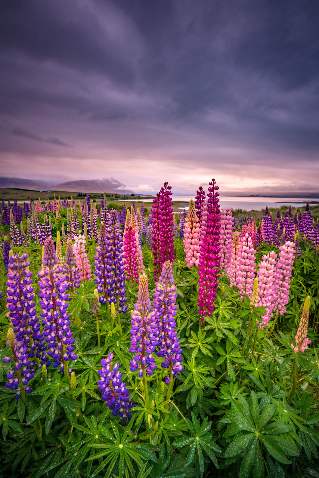 Tekapo Lupins Quiet Sunrise