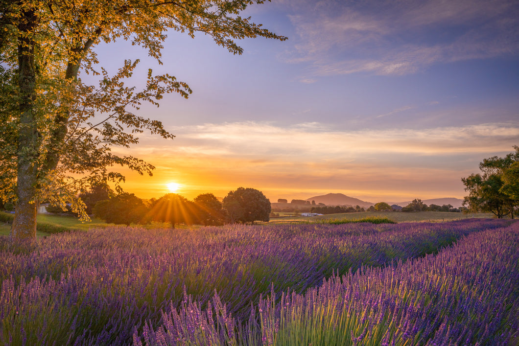 Lavender Farm Golden Sunset