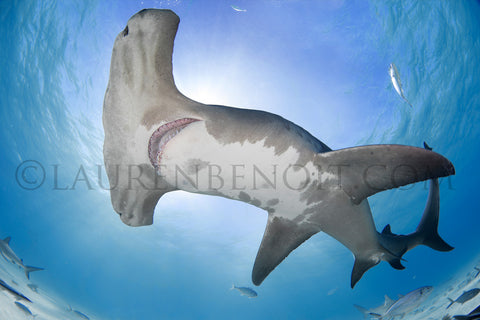 hammerhead shark photography