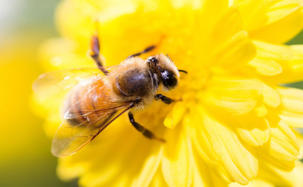 Are bees endangered animals?