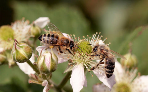 Why are bees struggling to survive?