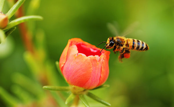 Why bees need flowers for food
