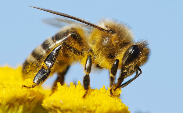Bees need flowers for food and pollen