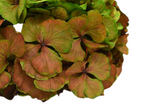 preserved hydrangea, infinity hydrangea, red green hydrangea, hydrangea that last years