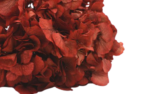 preserved hydrangea, infinity hydrangea, red hydrangea, hydrangea that last years