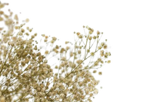 babybreath, preserved babybreath, preserved gypsophila, gypsophila, gypsofila, boho, bohemian, decor, natural color babybreath