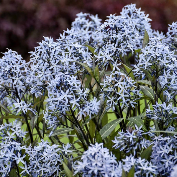 "Amsonia ""Storm Cloud"""