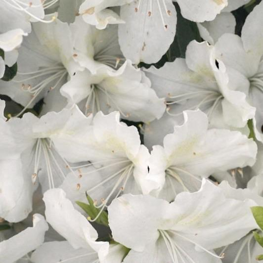 "Azalea ""Delaware Valley White"""