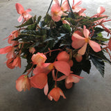 "Begonia, Boliviensis ""Waterfalls Soft Orange"""