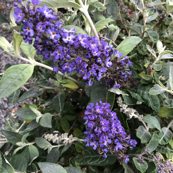 "Butterfly Bush ""Blue Heaven"""