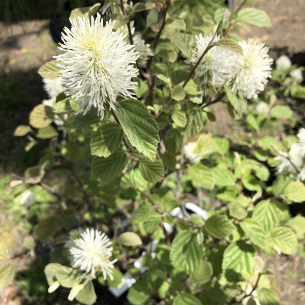 "Fothergilla ""Mount Airy"""