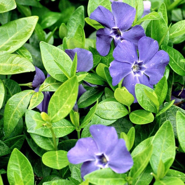 "Vinca minor (Myrtle) ""Bowles"""