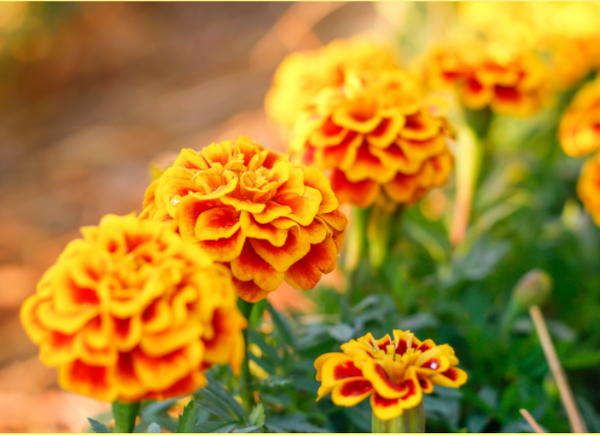 Marigold Skincare Benefits and Why We Love It for Our Skin