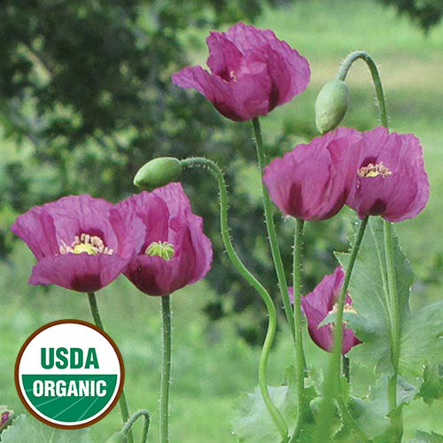 Hungarian Blue Breadseed Poppy from  Seed Savers Exchange