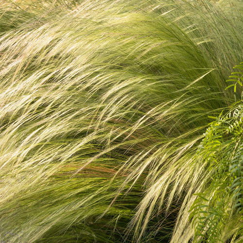 Nasella tenuissima- Mexican Feather Grass
