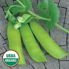 British Wonder Pea from Seed Savers Exchange