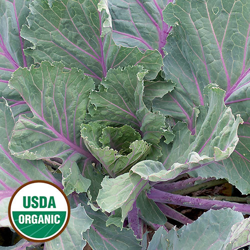 Ole Timey Blue Collard from Seed Savers Exchange