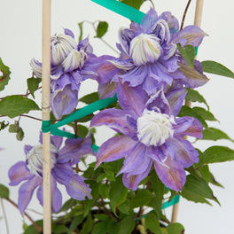 Clematis Diamantina