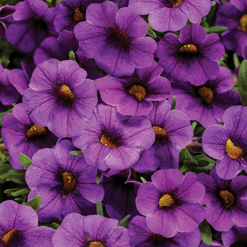 Calibrachoa Million Bells Blue